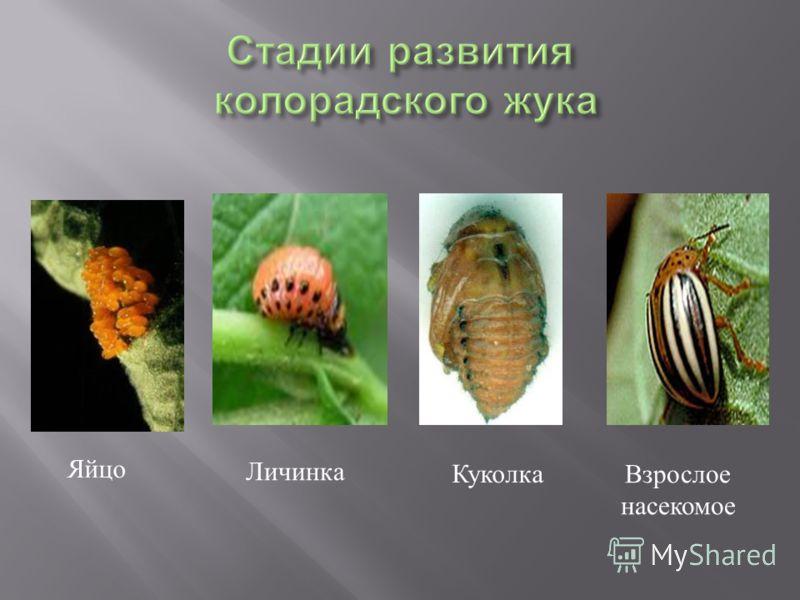 Яйцо Личинка Куколка Взрослое насекомое