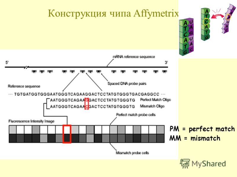 Конструкция чипа Affymetrix PM = perfect match MM = mismatch