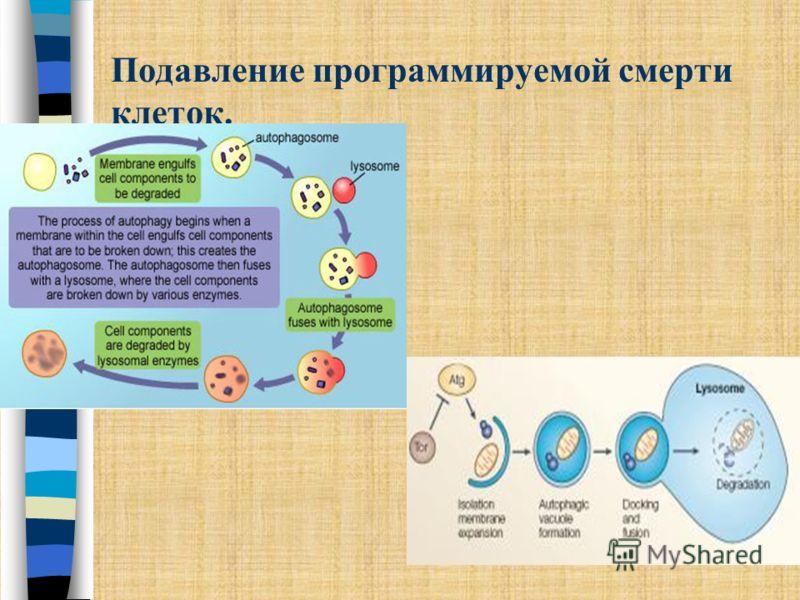 Подавление программируемой смерти клеток. Аутофагия – программа лизосомальной деградации белков. Редкое нарушение. Характерно для раковых клеток молочной железы, яичника и простаты, в которых ингибирование аутофагии связано с делецией одного из генны