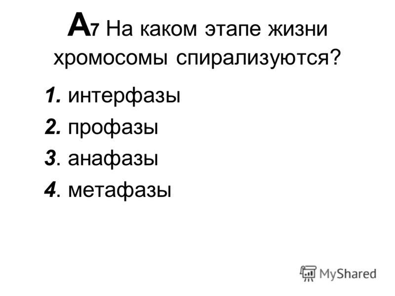А 7 На каком этапе жизни хромосомы спирализуются? 1. интерфазы 2. профазы 3. анафазы 4. метафазы