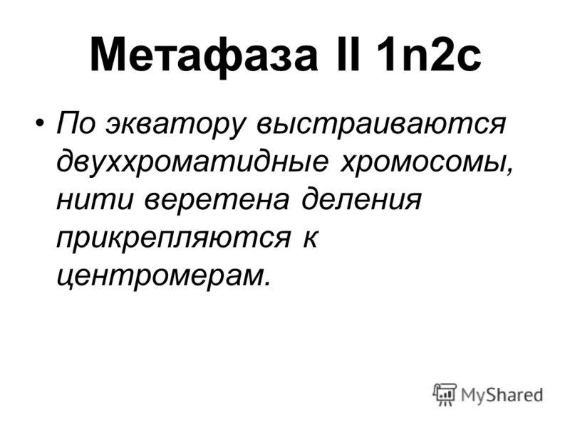 Метафаза II 1n2c По экватору выстраиваются двуххроматидные хромосомы, нити веретена деления прикрепляются к центромерам.