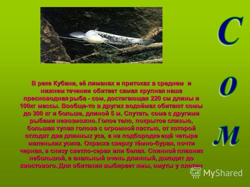 В реке Кубани, её лиманах и притоках в среднем и нижнем течении обитает самая крупная наша пресноводная рыба - сом, достигающая 220 см длины и 100кг массы. Вообще-то в других водоёмах обитают сомы до 300 кг и больше, длиной 5 м. Спутать сома с другим