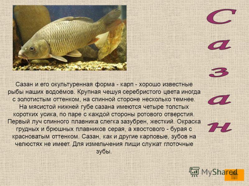 Сазан и его окультуренная форма - карп - хорошо известные рыбы наших водоёмов. Крупная чешуя серебристого цвета иногда с золотистым оттенком, на спинной стороне несколько темнее. На мясистой нижней губе сазана имеются четыре толстых коротких усика, п