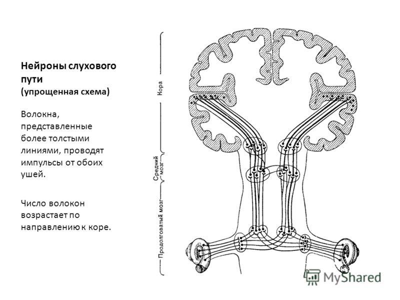 Нейроны слухового пути (упрощенная схема) Волокна, представленные более толстыми линиями, проводят импульсы от обоих ушей. Число волокон возрастает по направлению к коре.