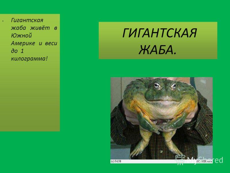 ГИГАНТСКАЯ ЖАБА. Гигантская жаба живёт в Южной Америке и веси до 1 килограмма!