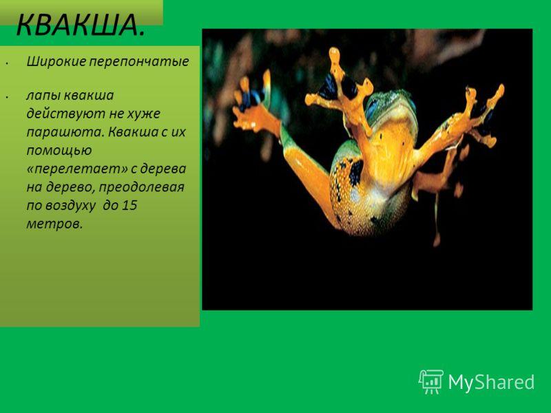 КВАКША. Широкие перепончатые лапы квакша действуют не хуже парашюта. Квакша с их помощью «перелетает» с дерева на дерево, преодолевая по воздуху до 15 метров.