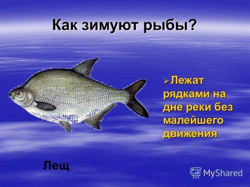 Как зимуют рыбы? Лещ Лежат рядками на дне реки без малейшего движения Лежат рядками на дне реки без малейшего движения