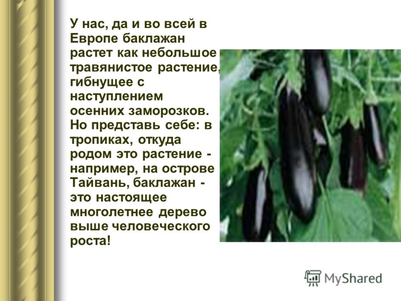 У нас, да и во всей в Европе баклажан растет как небольшое травянистое растение, гибнущее с наступлением осенних заморозков. Но представь себе: в тропиках, откуда родом это растение - например, на острове Тайвань, баклажан - это настоящее многолетнее