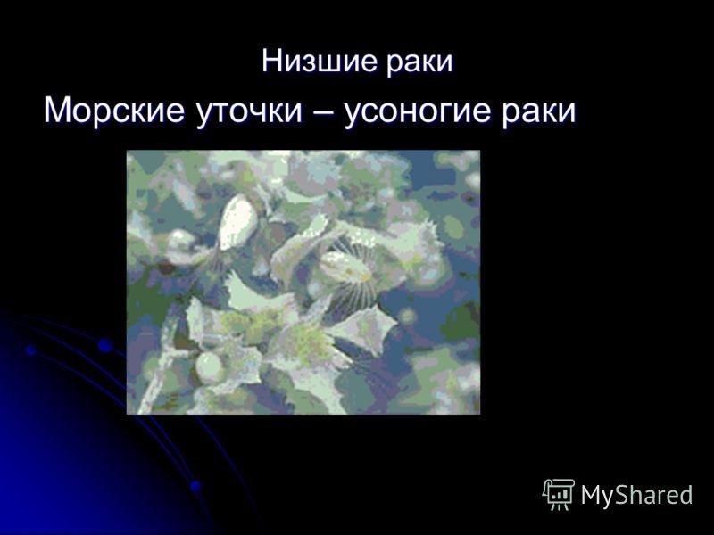 Низшие раки Морские уточки – усоногие раки