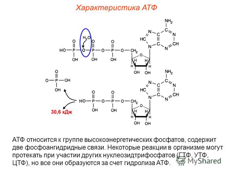 Характеристика АТФ АТФ относится к группе высокоэнергетических фосфатов, содержит две фосфоангидридные связи. Некоторые реакции в организме могут протекать при участии других нуклеозидтрифосфатов (ГТФ, УТФ, ЦТФ), но все они образуются за счет гидроли