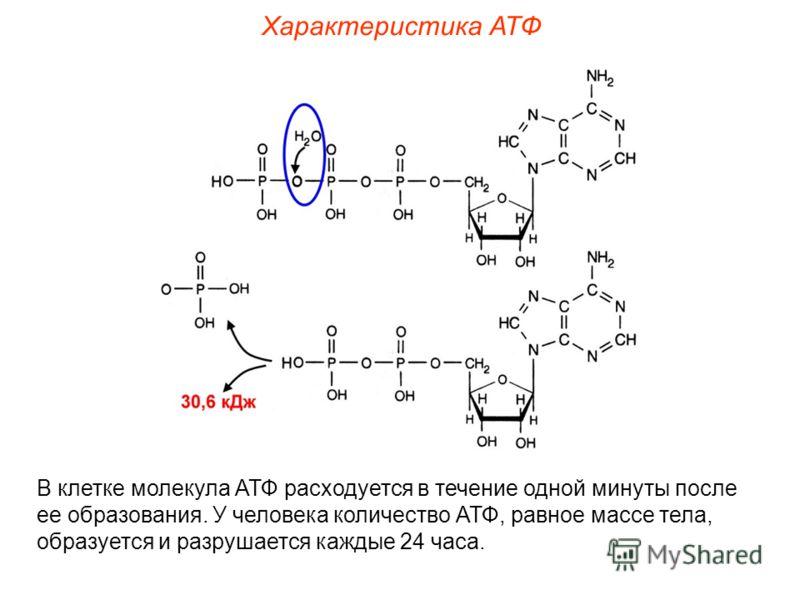 Характеристика АТФ В клетке молекула АТФ расходуется в течение одной минуты после ее образования. У человека количество АТФ, равное массе тела, образуется и разрушается каждые 24 часа.