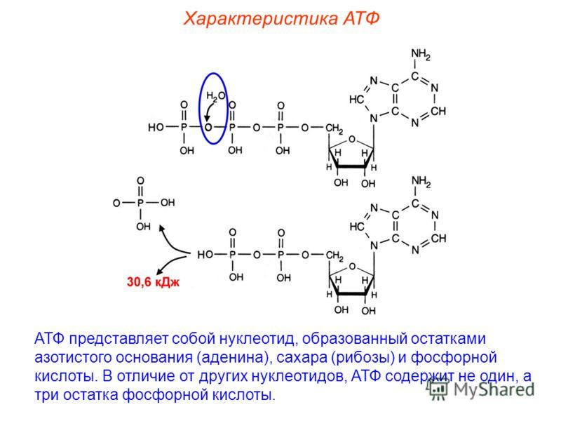 Характеристика АТФ АТФ представляет собой нуклеотид, образованный остатками азотистого основания (аденина), сахара (рибозы) и фосфорной кислоты. В отличие от других нуклеотидов, АТФ содержит не один, а три остатка фосфорной кислоты.