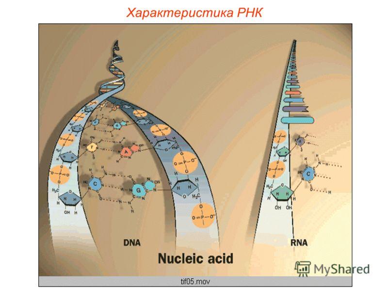 Характеристика РНК