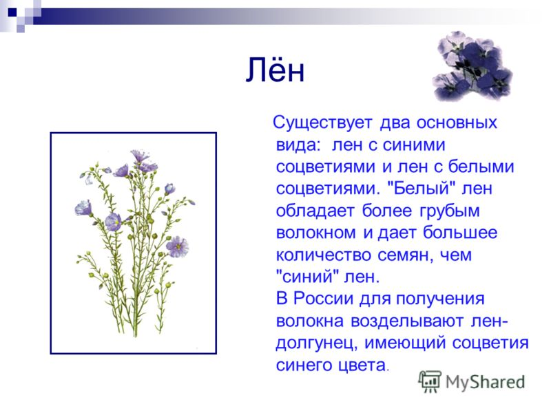Лён Существует два основных вида: лен с синими соцветиями и лен с белыми соцветиями.