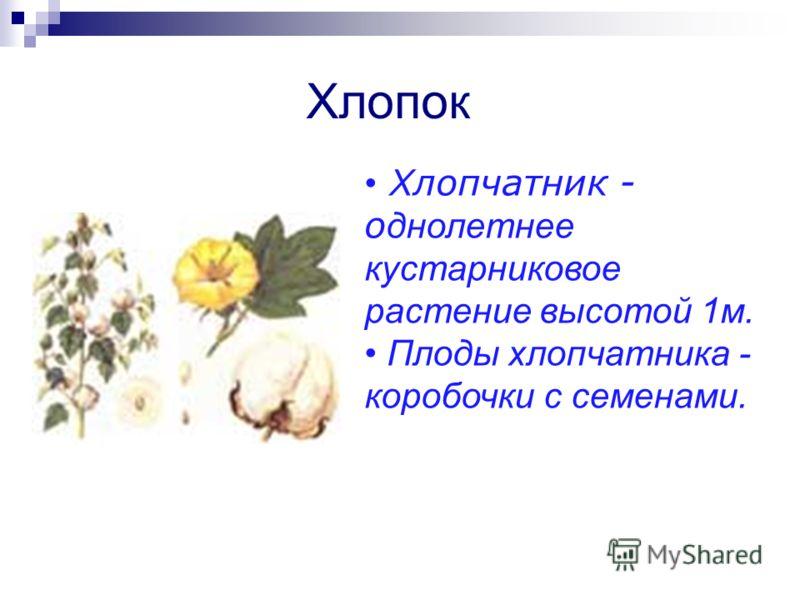Хлопок Хлопчатник - о днолетнее кустарниковое растение высотой 1м. Плоды хлопчатника - коробочки с семенами.