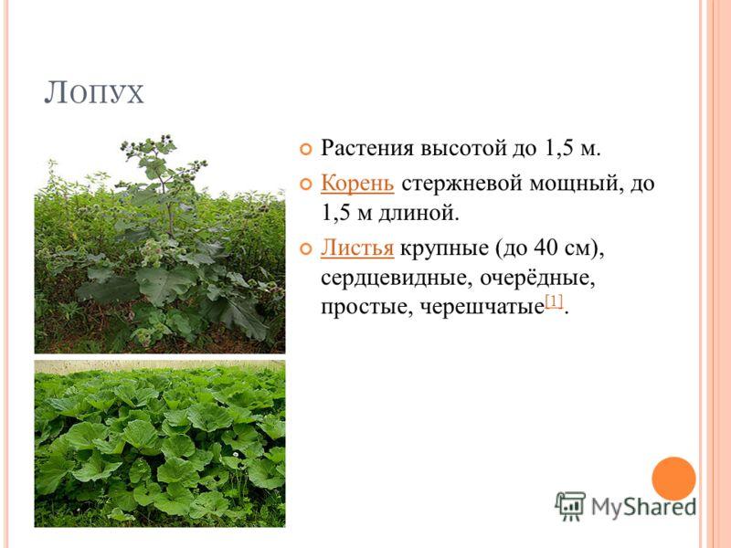 Л ОПУХ Растения высотой до 1,5 м. Корень стержневой мощный, до 1,5 м длиной. Корень Листья крупные (до 40 см), сердцевидные, очерёдные, простые, черешчатые [1]. Листья [1]