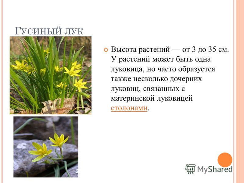 Г УСИНЫЙ ЛУК Высота растений от 3 до 35 см. У растений может быть одна луковица, но часто образуется также несколько дочерних луковиц, связанных с материнской луковицей столонами. столонами
