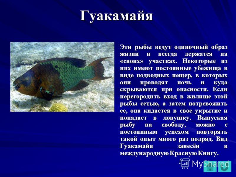 Гуакамайя Эти рыбы ведут одиночный образ жизни и всегда держатся на «своих» участках. Некоторые из них имеют постоянные убежища в виде подводных пещер, в которых они проводят ночь и куда скрываются при опасности. Если перегородить вход в жилище этой