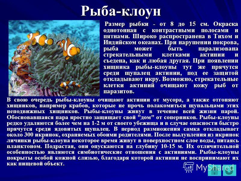 Рыба-клоун Размер рыбки - от 8 до 15 см. Окраска однотонная с контрастными полосами и пятнами. Широко распространена в Тихом и Индийском океанах. При нарушении покрова, рыба может быть парализована стрекательными клетками актинии и съедена, как и люб