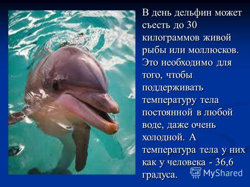 В день дельфин может съесть до 30 килограммов живой рыбы или моллюсков. Это необходимо для того, чтобы поддерживать температуру тела постоянной в любой воде, даже очень холодной. А температура тела у них как у человека - 36,6 градуса. В день дельфин