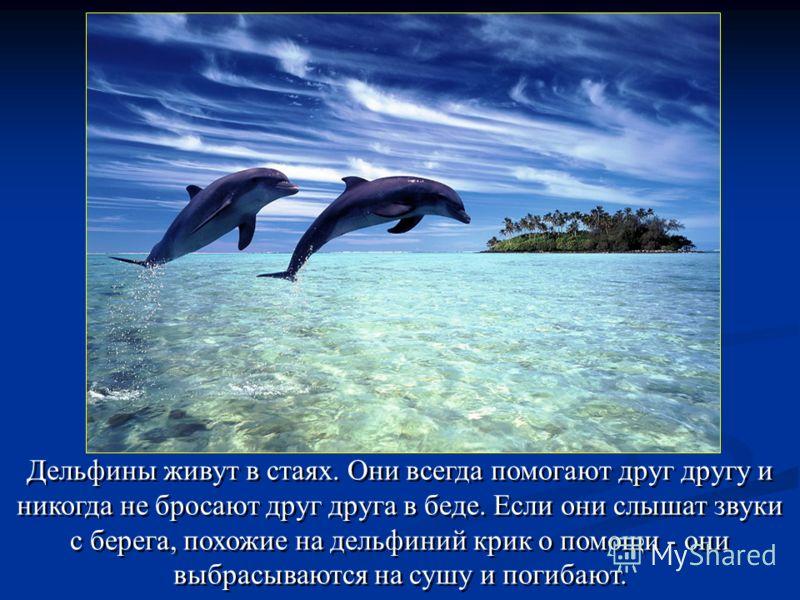 Дельфины живут в стаях. Они всегда помогают друг другу и никогда не бросают друг друга в беде. Если они слышат звуки с берега, похожие на дельфиний крик о помощи - они выбрасываются на сушу и погибают.