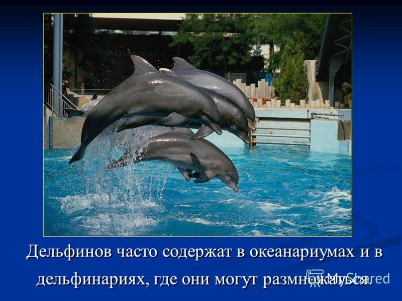 Дельфинов часто содержат в океанариумах и в дельфинариях, где они могут размножаться.