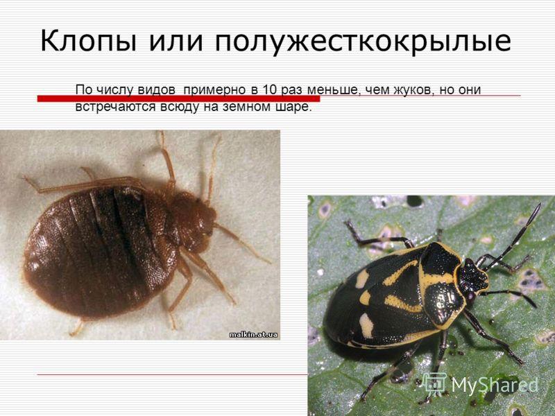 Клопы или полужесткокрылые По числу видов примерно в 10 раз меньше, чем жуков, но они встречаются всюду на земном шаре.