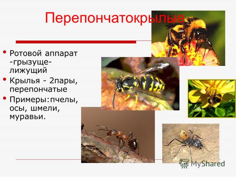 Ротовой аппарат -грызуще- лижущий Крылья - 2пары, перепончатые Примеры:пчелы, осы, шмели, муравьи. Перепончатокрылые