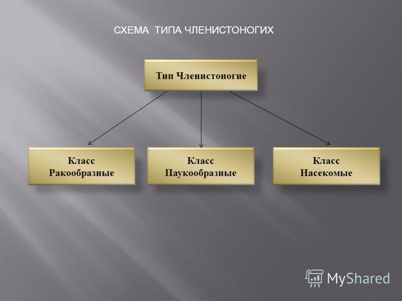 Тип Членистоногие Класс Ракообразные Класс Паукообразные Класс Насекомые СХЕМА ТИПА ЧЛЕНИСТОНОГИХ
