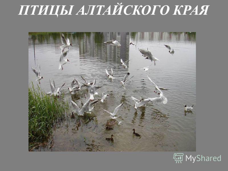 ПТИЦЫ АЛТАЙСКОГО КРАЯ