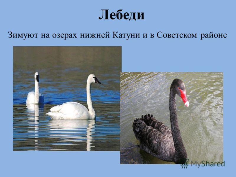 Лебеди Зимуют на озерах нижней Катуни и в Советском районе