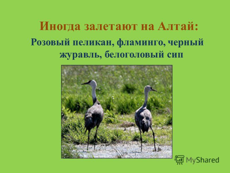 Иногда залетают на Алтай: Розовый пеликан, фламинго, черный журавль, белоголовый сип