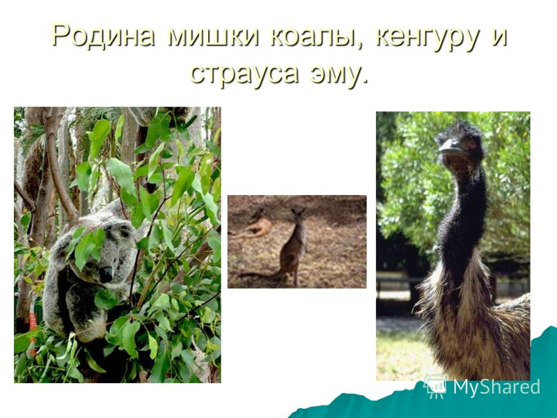 Родина мишки коалы, кенгуру и страуса эму.