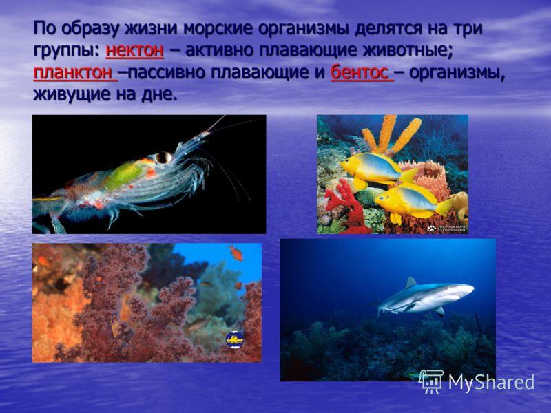 По образу жизни морские организмы делятся на три группы: нектон – активно плавающие животные; планктон –пассивно плавающие и бентос – организмы, живущие на дне.
