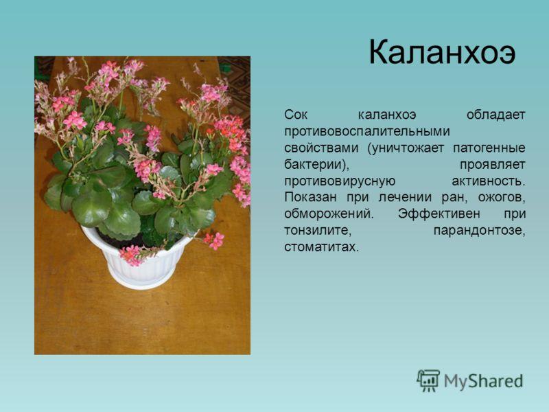 Каланхоэ Сок каланхоэ обладает противовоспалительными свойствами (уничтожает патогенные бактерии), проявляет противовирусную активность. Показан при лечении ран, ожогов, обморожений. Эффективен при тонзилите, парандонтозе, стоматитах.