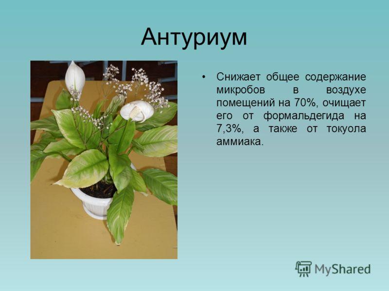 Антуриум Снижает общее содержание микробов в воздухе помещений на 70%, очищает его от формальдегида на 7,3%, а также от токуола аммиака.