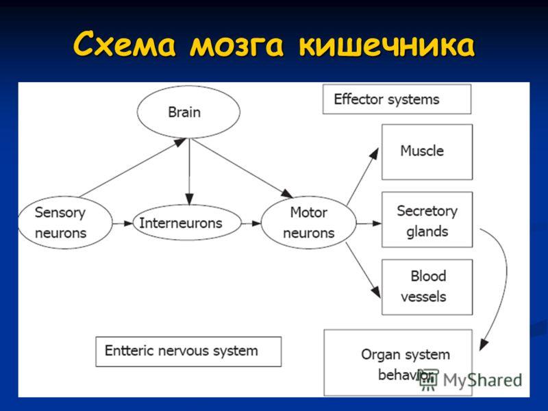 Схема мозга кишечника