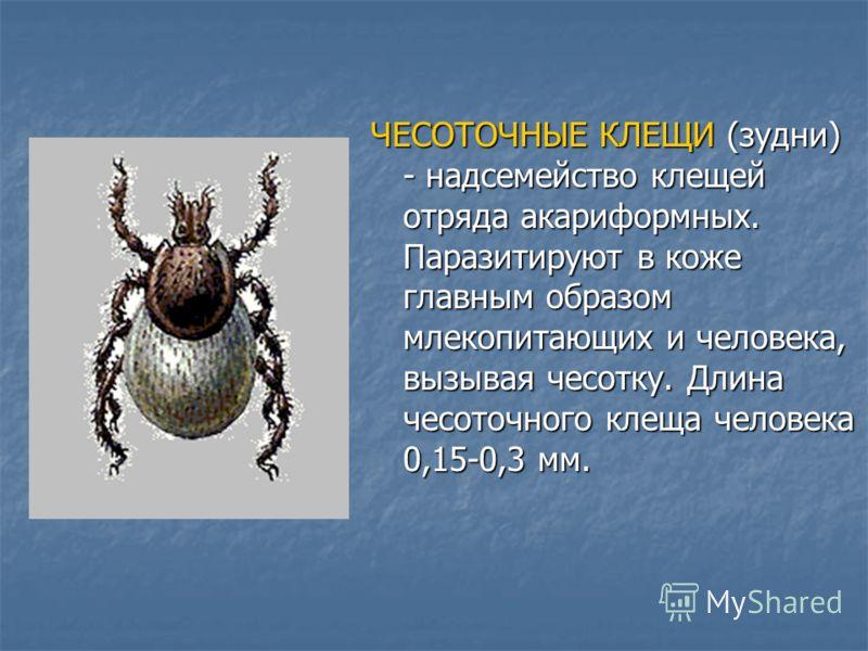 ЧЕСОТОЧНЫЕ КЛЕЩИ (зудни) - надсемейство клещей отряда акариформных. Паразитируют в коже главным образом млекопитающих и человека, вызывая чесотку. Длина чесоточного клеща человека 0,15-0,3 мм.