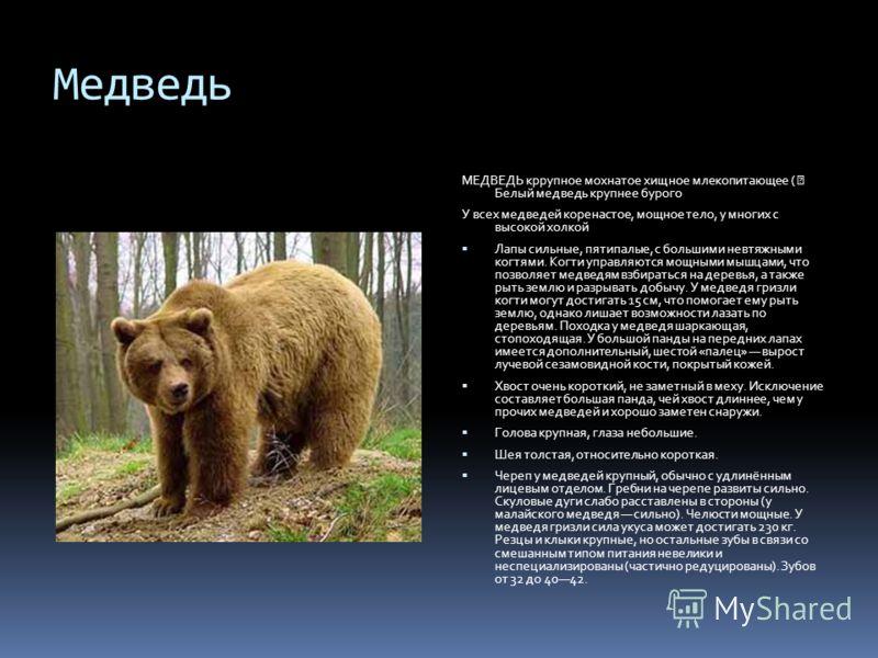 Медведь МЕДВЕДЬ кррупное мохнатое хищное млекопитающее ( Белый медведь крупнее бурого У всех медведей коренастое, мощное тело, у многих с высокой холкой Лапы сильные, пятипалые, с большими невтяжными когтями. Когти управляются мощными мышцами, что по