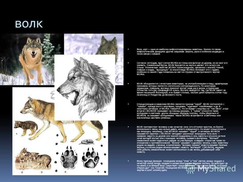 волк Волк, хорт одно из наиболее мифологизированных животных. Близок по своим мифологическим функциям другим хищникам (ворону, рыси и особенно медведю) и тесно связан с собакой. Согласно легендам, черт слепил ВОЛКА из глины или вытесал из дерева, но