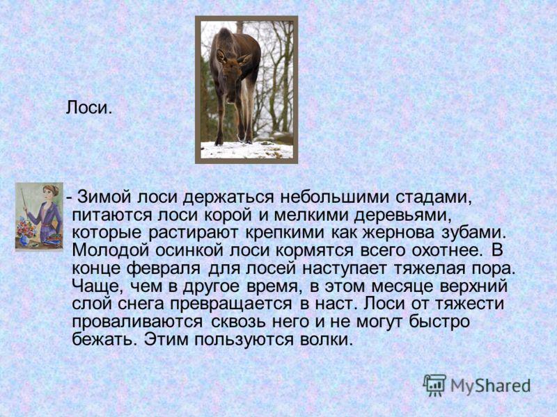 Лоси. - Зимой лоси держаться небольшими стадами, питаются лоси корой и мелкими деревьями, которые растирают крепкими как жернова зубами. Молодой осинкой лоси кормятся всего охотнее. В конце февраля для лосей наступает тяжелая пора. Чаще, чем в другое