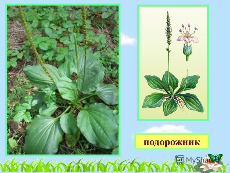 группы растений водоросли мхи лиственные растения лиственные растения папоротники цветковые растения цветковые растения хвойные растения хвойные растения