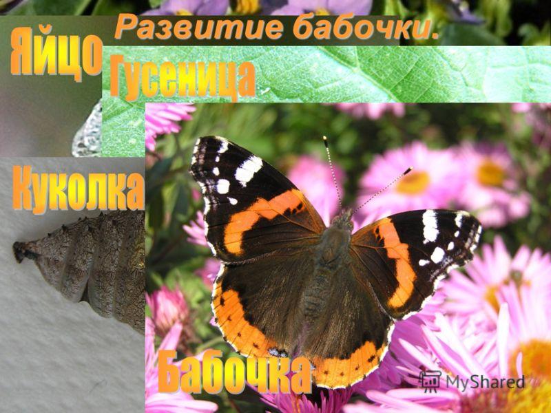 Как же происходит развитие и превращение бабочки? Развитие бабочки.