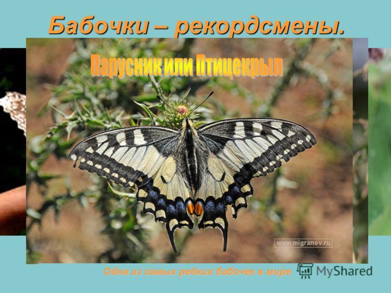 Бабочки – рекордсмены. Самые большие бабочки: размах их крыльев достигает 30 см Самая маленькая бабочка в мире: ее крылышко всего 6 мм Бабочка-путешественник: она может пролетать до 3200 км, и бабочка-долгожитель: может прожить до 6 месяцев Одна из с
