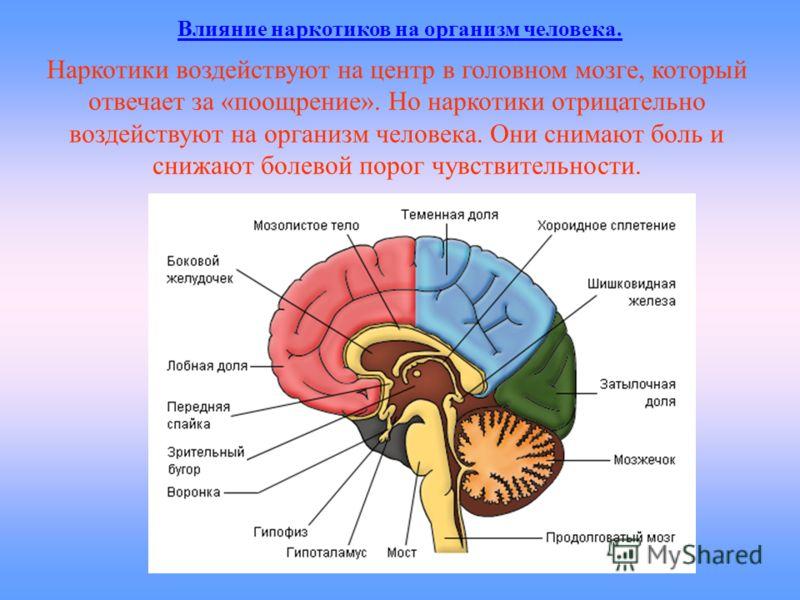 Наркотики воздействуют на центр в головном мозге, который отвечает за «поощрение». Но наркотики отрицательно воздействуют на организм человека. Они снимают боль и снижают болевой порог чувствительности. Влияние наркотиков на организм человека.