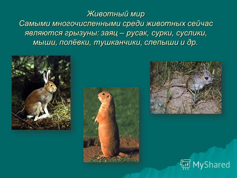 Животный мир Самыми многочисленными среди животных сейчас являются грызуны: заяц – русак, сурки, суслики, мыши, полёвки, тушканчики, слепыши и др.
