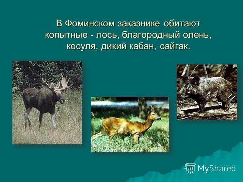 В Фоминском заказнике обитают копытные - лось, благородный олень, косуля, дикий кабан, сайгак.