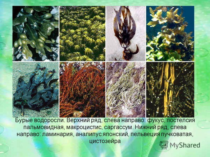 Бурые водоросли. Верхний ряд, слева направо: фукус, постелсия пальмовидная, макроцистис, саргассум. Нижний ряд, слева направо: ламинария, аналипус японский, пельвеция пучковатая, цистозейра