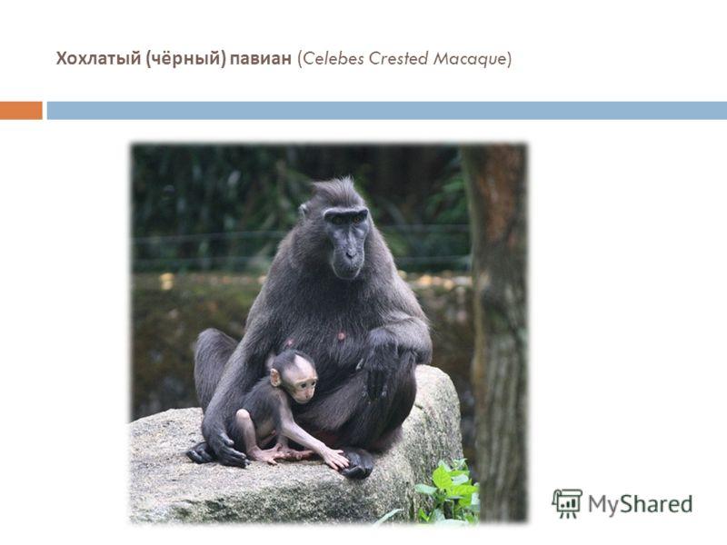 Хохлатый ( чёрный ) павиан (Celebes Crested Macaque)