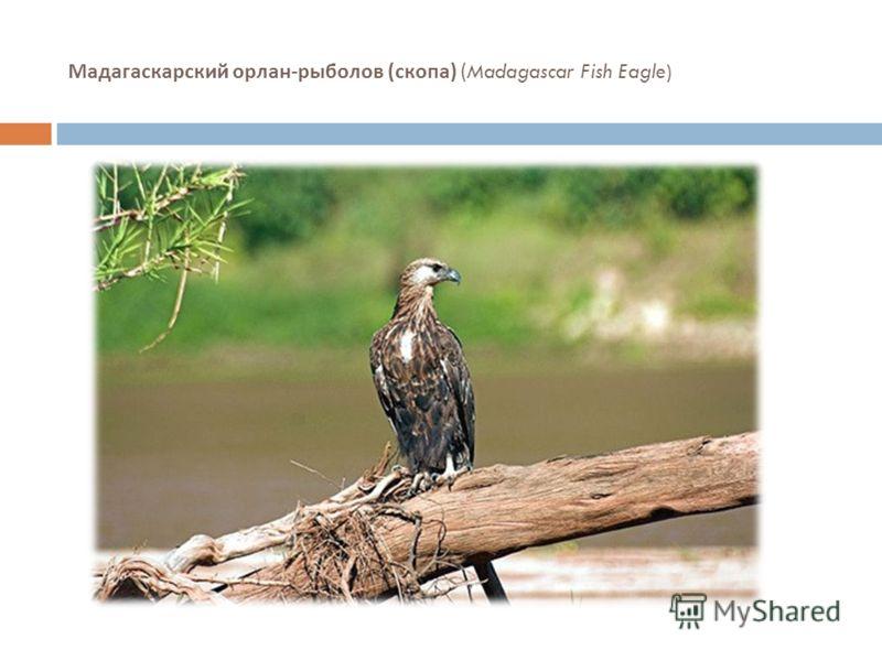 Мадагаскарский орлан - рыболов ( скопа ) (Madagascar Fish Eagle)